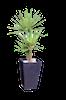 Yucca06